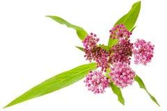 Milkweed de pântano Imagens de Stock Royalty Free