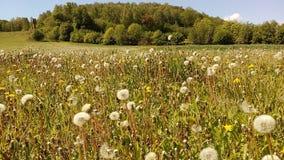 milkweed del campo Fotos de archivo
