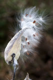 Milkweed, der Samen freigibt Stockfotografie