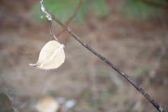 Milkweed-einzelne Samen-Hülse auf Zweig Lizenzfreies Stockbild