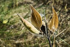 Milkweed. Is the exclusive food of the monarch butterfly's caterpillar. This property describes a surface's ability to repel water stock photos