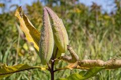 Milkweed Stock Image