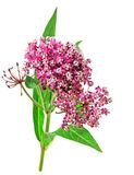 Milkweed flower Stock Photo