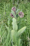 Milkweed flower Asclepias syriaca. Common Milkweed plant with blooming flowers that are pinkish-purple clusters which often droop, Milkweed flowers usually bloom Stock Photography