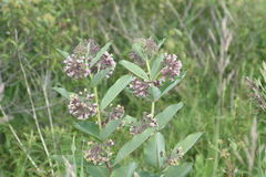 Milkweed flower Asclepias syriaca. Common Milkweed plant with blooming flowers that are pinkish-purple clusters which often droop, Milkweed flowers usually bloom Stock Images