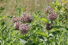 Milkweed flower Asclepias syriaca. Common Milkweed plant with blooming flowers that are pinkish-purple clusters which often droop, Milkweed flowers usually bloom Royalty Free Stock Image