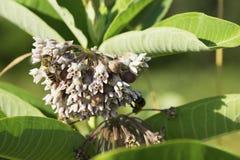 Milkweed flower. Bee on milkweed flower- Asclepias royalty free stock images