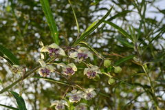 Milkweed flower blooms on plant branch in outdoor garden. Milkweed plant of flowers in nature royalty free stock image
