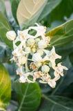 Milkweed flower Royalty Free Stock Images