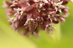 Milkweed flower and insect Royalty Free Stock Image