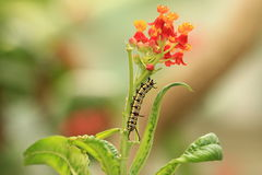 Milkweed flowers and caterpillar. A caterpillar on the red and yellow Blood-flower Milkweed royalty free stock image