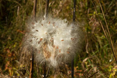 Milkweed Fluff, Asclepias, Southern Ontario Stock Images