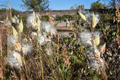 Milkweed Gone to Seed. Milkweed plants gone to seed in front of a wooden rustic looking fence Royalty Free Stock Image