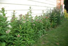 Milkweed growing in flower garden. Milkweed is the food for monarch butterfly caterpillars. The flowers are sweet smelling and detailed. Honey bees also love stock image