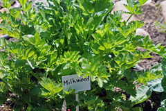 Milkweed. Growing in the Garden royalty free stock image