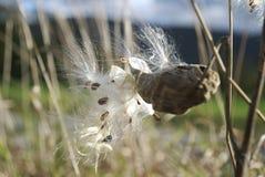 Milkweed i vinden arkivfoton
