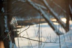 Milkweed i vintern Royaltyfri Foto