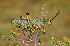 Milkweed locust on plant Royalty Free Stock Photos