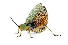 Milkweed locust on white Royalty Free Stock Photography