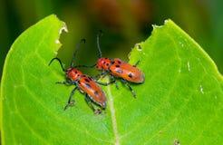 Milkweed longhorn. A pair of miikweed longhorn beetles feeding on milkweed stock image