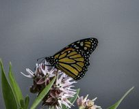 Milkweed Monarch royalty free stock photo
