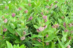 Field of fragrant milkweed flowers in bloom. Milkweed is named for its latex, a milky substance containing cardiac glycosides termed cardenolides that is exuded stock photography