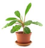 Milkweed novo no flowerpot imagem de stock royalty free