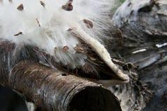 Milkweed- och björkskäll Fotografering för Bildbyråer