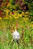 Milkweed plant. With goldenrod background Stock Photography