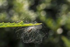 Milkweed plant, Asclepias 'Tuberosa' seed pod royalty free stock images
