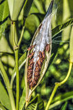 Milkweed plant, Asclepias 'Tuberosa' seed pod. Asclepias 'Tuberosa' Asclepias syriaca, commonly called common milkweed, butterfly flowerseed pod stock photography