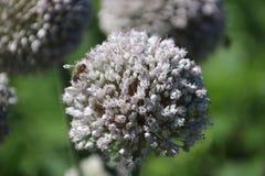 Milkweed plant with bee in the public park Hitland in Nieuwerkerk aan den IJssel in the Netherlands. Milkweed plant with bee in the public park Hitland in stock images