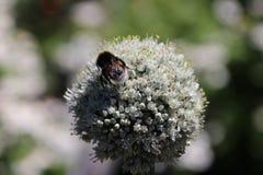 Milkweed plant with bee in the public park Hitland in Nieuwerkerk aan den IJssel in the Netherlands.  stock images