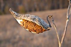 Milkweed Stock Photography