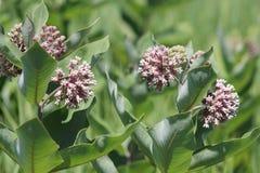 Milkweed Plant-Flowering Asclepias syriac. Flowering milkweed plant. Milkweed flowers bloom from June to August, Kingston, Ontario royalty free stock image