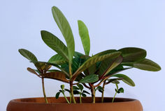 Milkweed Plant. Photo of bright milkweed plant close-up stock photos