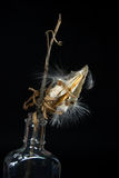 Milkweed pod in bottle Stock Photo