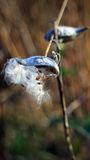 Milkweed pod in the fall Royalty Free Stock Photos