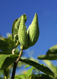 Milkweed Pods. Two green milkweed pods against a blue sky royalty free stock image