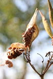 Milkweed Pods with Seeds. Being Dispersed in the Wind stock image