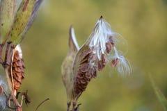 Milkweed Pods with Seeds Stock Photo