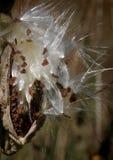 Milkweed que sopla macro Fotos de archivo
