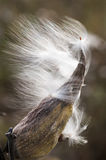 Milkweed Releasing Seed. Closeup of a milkweed pod releasing its seeds into the wind Stock Photos