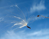 Milkweed (Asclepias syriaca) seed Royalty Free Stock Photography