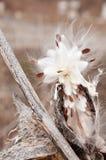Milkweed seed stock photos