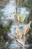 Milkweed Seed Royalty Free Stock Photo