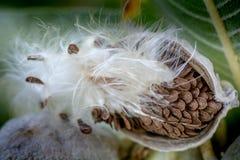 Milkweed seed pod stock photography