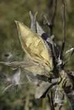 Milkweed Seed Pod Stock Photo