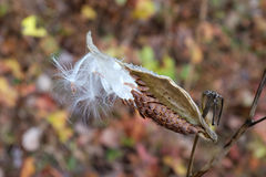 Milkweed seed pod Stock Photos