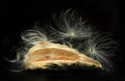 Milkweed seed pod releasin Royalty Free Stock Image